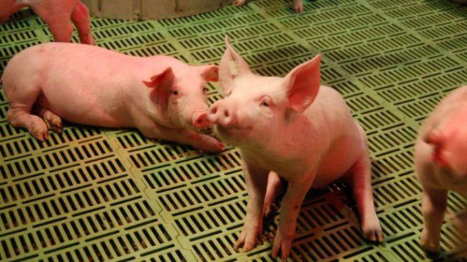 Schweinemäster unter stärkstem Druck seit 2007 -