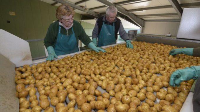 Niedersachsens Bauern ernten die dicksten Kartoffeln - Foto: landpixel