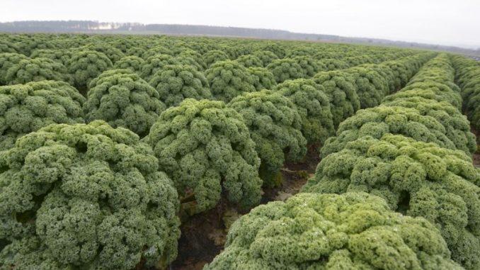 Grünkohl schmeckt auch ohne Frost - Foto: landpixel