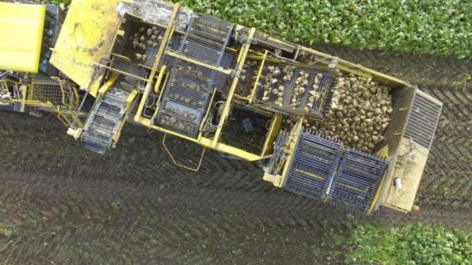 Was macht der Waschbär auf dem Rübenfeld - Foto: Palandt Agrartechnik