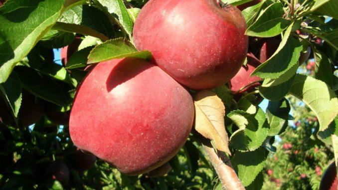 Apfelernte mit historisch spätem Ende - Foto: Landvolk