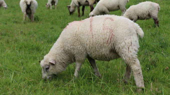 Herdenschutz reicht nicht aus - Foto: Landvolk