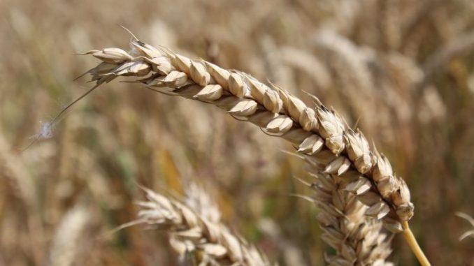 Getreidebauern bedienen viele Märkte - Foto: Landvolk