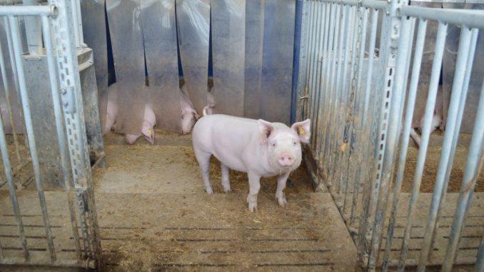 Schweine fühlen sich auch bei Kälte wohl - Foto: Archiv