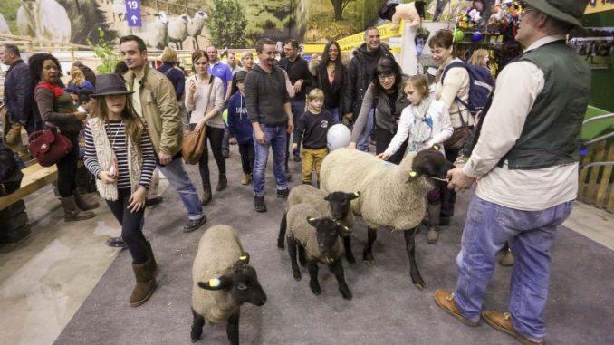 In den Schafställen herrscht Hochbetrieb - Foto: IGW