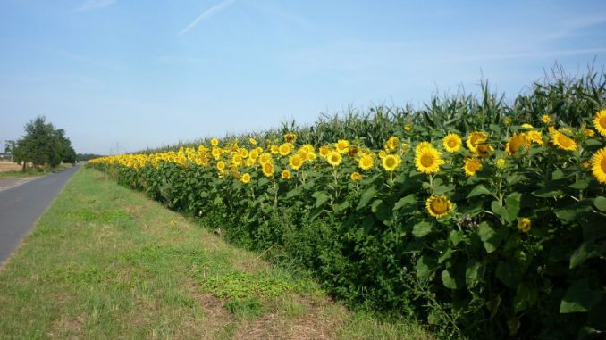 Es wird auf 16.500 Hektar blüehn - Foto: Landvolk