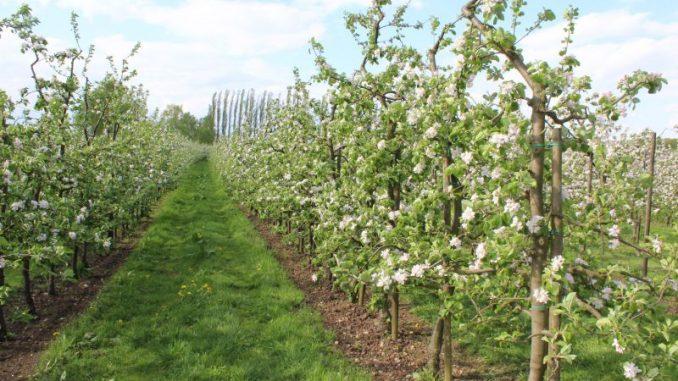 Obstbaumblüte im Alten Land