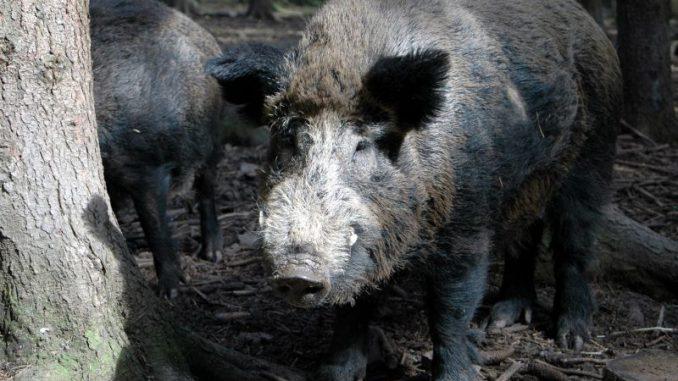 Reisemitbringel können Tierseuchen auslösen - Foto: DJV