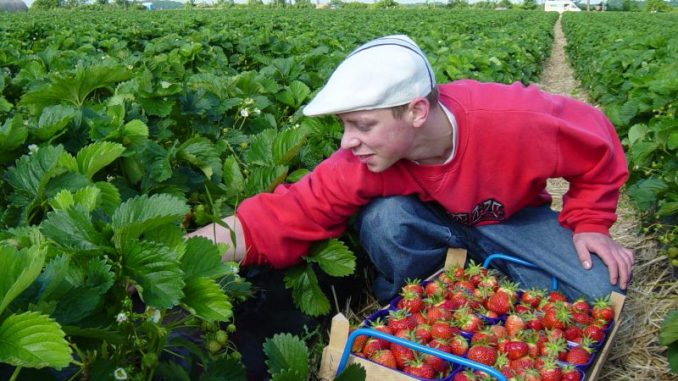 Die Erdbeersaison startet - Foto: Landvolk