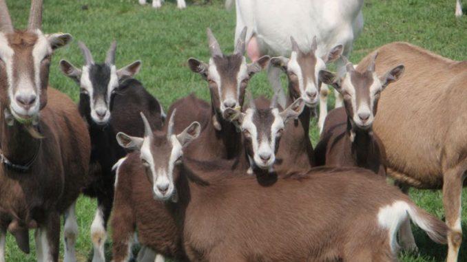 Ziegen machen einfach Spaß - Foto: Ziegenhof Schümer