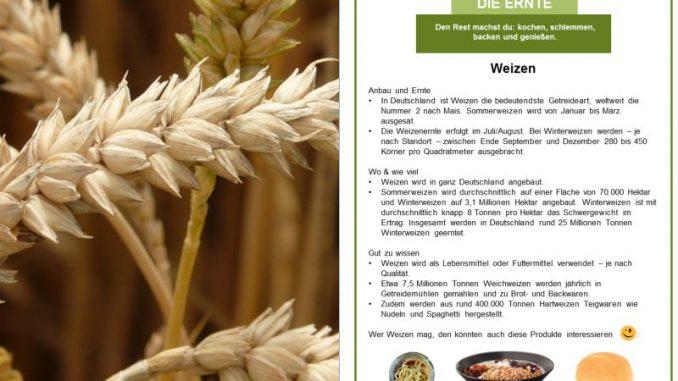 Weizenernte startet früher als erwartet -