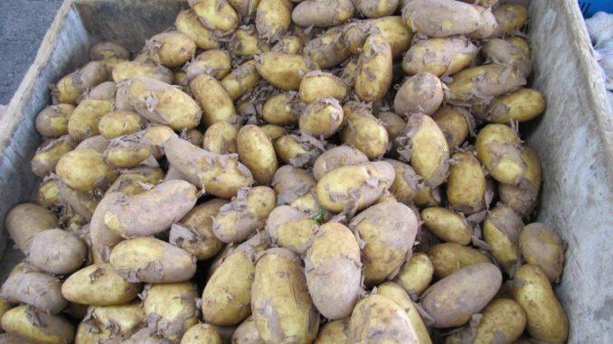 Frühkartoffelsaison endet zufriedenstellend - Foto: Bollmann
