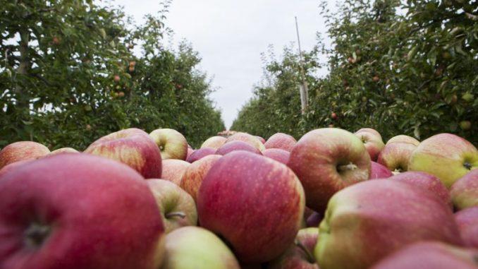 Bai Traumwetter wurden tolle Äpfel gepflückt - Foto: Landvolk