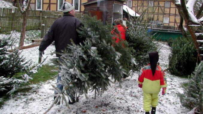 Stabile Preise bei Weihnachtsbäumen - Foto Landpixel