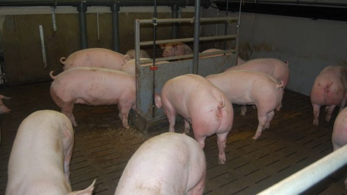 """Schweinehalter sehen """"keinen Königsweg"""" - Foto: LSZ"""