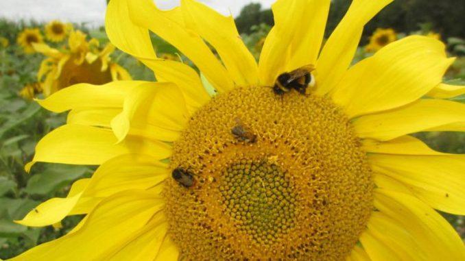 Brach- und Blühflächen ernähren Insekten - Photo: Landvolk