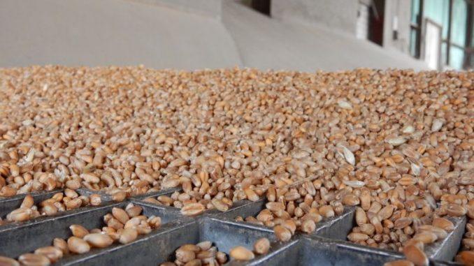 35 Prozent der Weizenernte liegt noch auf den Höfen - Foto: Landpixel