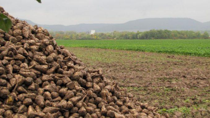Süßere Rüben benötigen weniger Ackerflächen - Foto: Landvolk