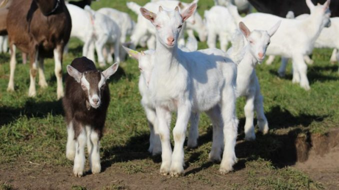 Schaf- und Ziegentag zeigt Möglichkeiten auf - Foto: Landvolk