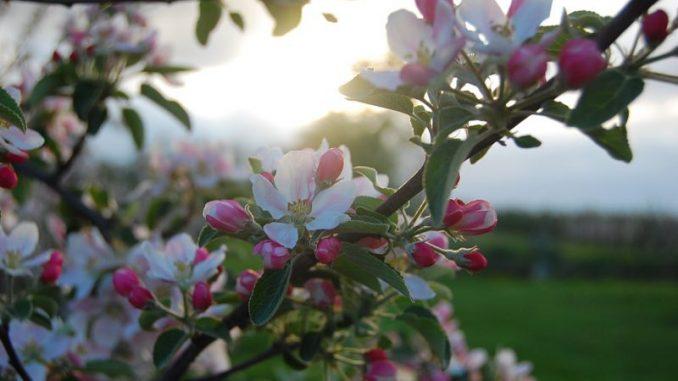 Über Ostern erblühen die Kirschen im Alten Land - Foto: Landvolk