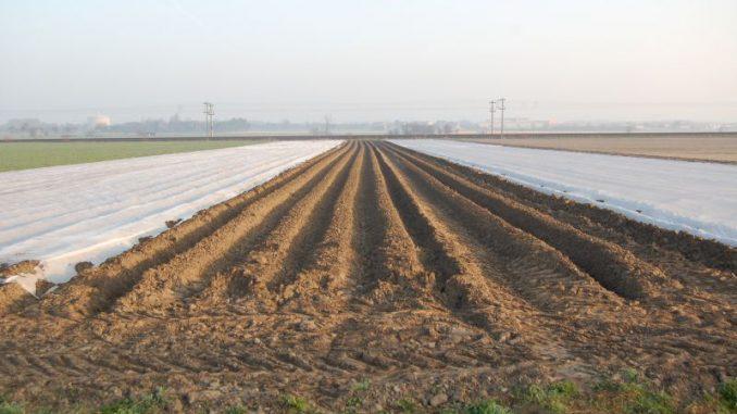 Frostschäden bei Frühkartoffeln wachsen sich aus - Foto: Landvolk