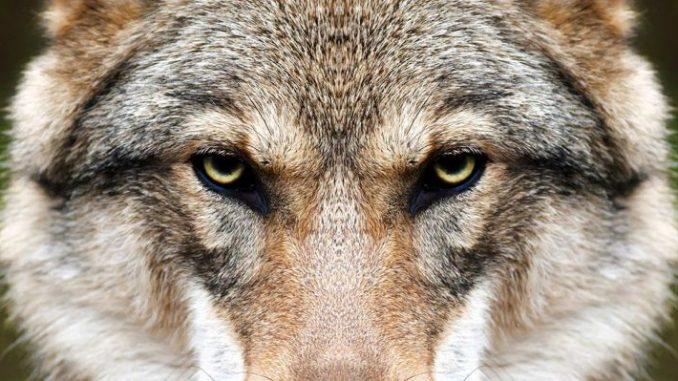 Arbeitsgruppe Wolf gebildet - Foto: andamanec