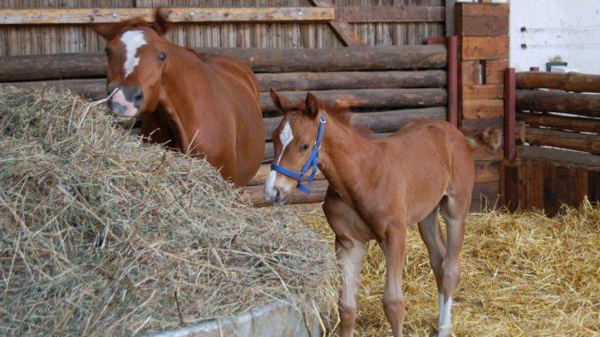 Im Pferdestall wird wieder mehr Nachwuchs erwartet - Foto: Landvolk