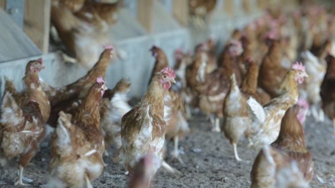 Biosicherheit bleibt für Gelfügelhalter wichtig - Foto: Landvolk