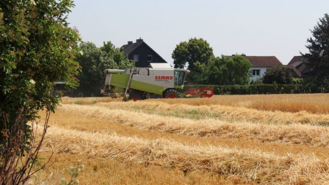 Erste Getreidefelder reifen jetzt ab - Foto: Landvolk