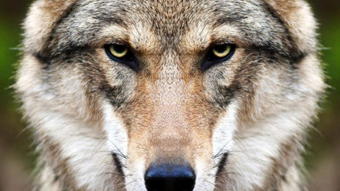 Weil will Wölfe begrenzen - Foto: Fotolia