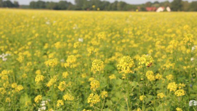 Zwischenfrucht bleibt wichtigste Greening-Maßnahme - Foto: Landvolk