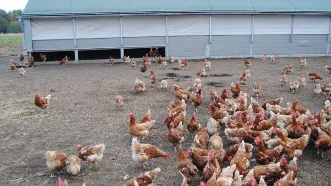Geflügelhalter überprüfen Biosicherheitskonzepte - Foto: Landvolk