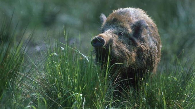 Höchste Vorsicht vor Schweinepest - Foto: Deutscher Jagdverband