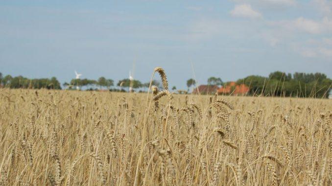 Getreidefelder brauchen jetzt Sonne und Wärme - Foto: Landvolk