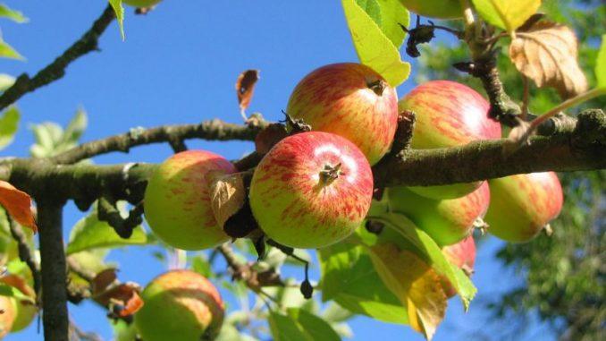 Frost dizimierte die Apfelernte -