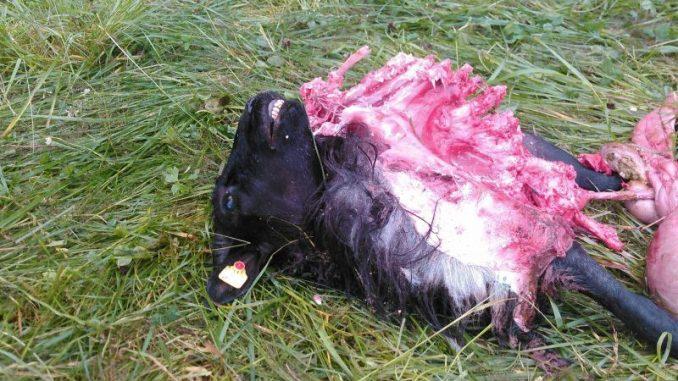 Schafhalter fordern Entnahme auffälliger Wölfe -