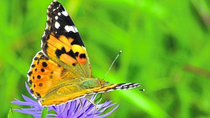 Weniger Insekten - wer jat scjiöd? - Foto: Lachmann/BUND
