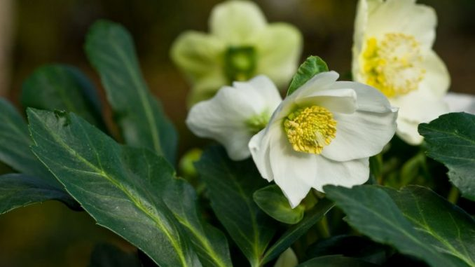 Blütenzauber für die Winterzeit - Foto: Bildnachweis: GMH/BVE