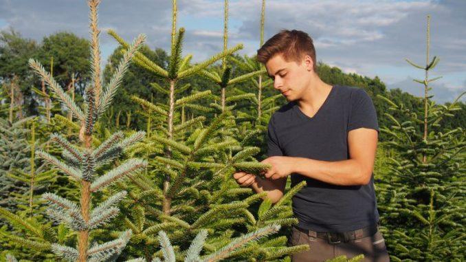 Weihnachtsbäume sind rege nachgefragt und preisstabil - Foto: Geveke