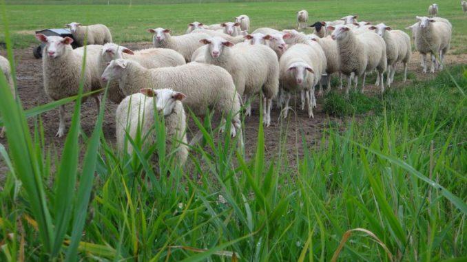 Für die Schäfer sind jetzt die Nächte kurz - Foto: Landvolk