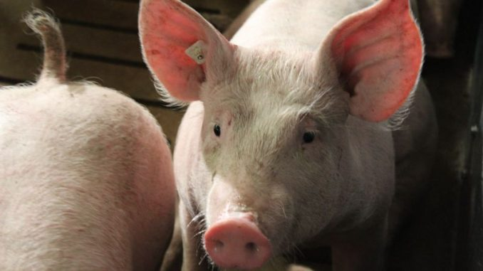 Schweinemarkt bleibt exportabhängig - Foto: Landvolk