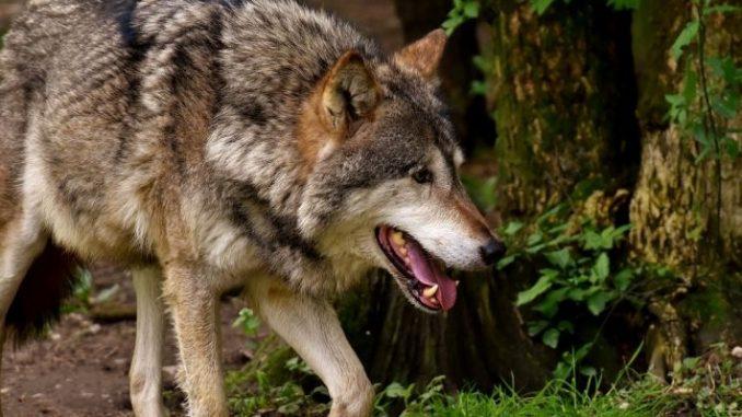 Inzwischen über 1.000 Wölfe in Deutschland – Risszahlen nehmen dramatisch zu -