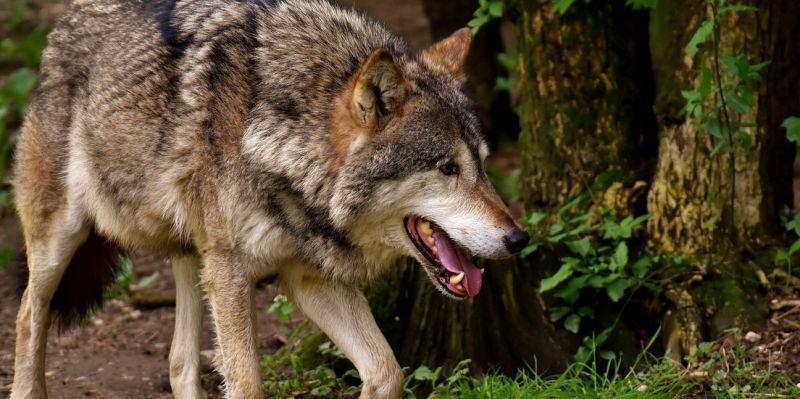 500 Wölfe wären für Weidetierhalter eine Zumutung
