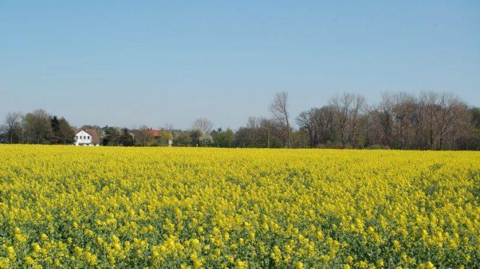 Der Raps lockt mit ersten Blüten Bienen an - Foto: Landvolk