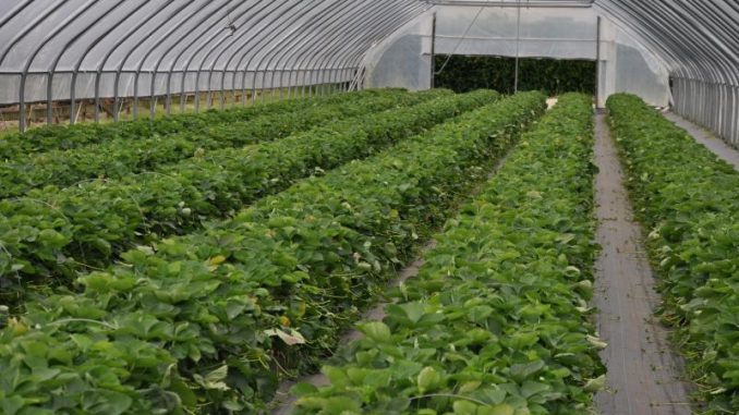Die ersten Erdbeeren in Niedersachsen sind reif - Foto: Landvolk