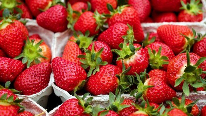 Topstart in die Selbstpflücksaison der Erdbeeren -