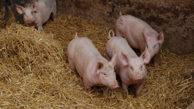 Schweinebestände EU-weit auf Wachstumskurs - Foto: Landvolk