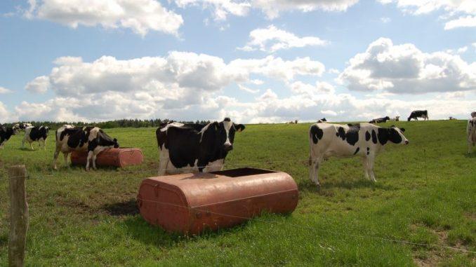 Kühe schalten bei Hitze einen Gang runter - Foto: Landvolk