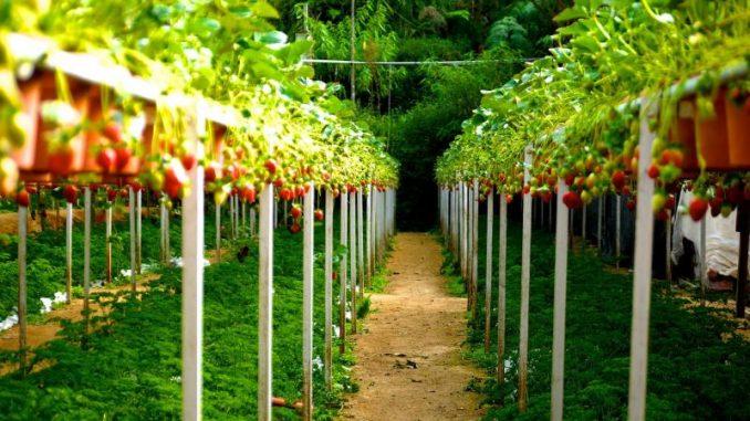 Immer weniger Freiland-Erdbeeren -