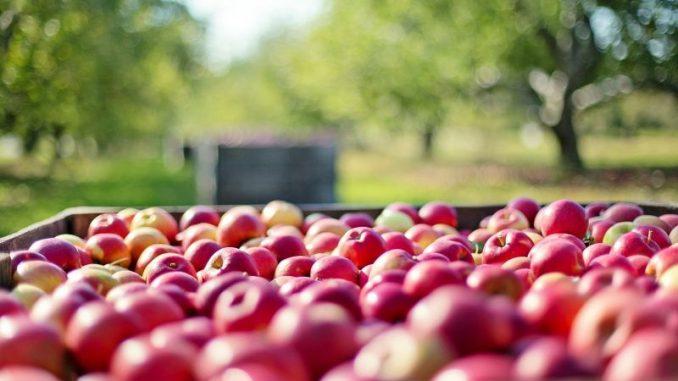 Von wegen Apfel-Vollernte! -